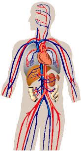 Il Ganoderma nella regolazione della circolazione sanguigna